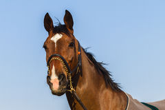 Horse Portrait Closeup Royalty Free Stock Image