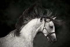 Horse portrait on a dark background. Arabian horse portrait on a dark background Royalty Free Stock Photography