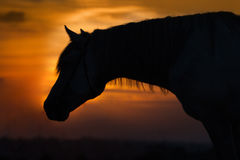 Horse portrait dawn Royalty Free Stock Images