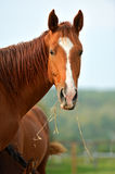 Portrait of Horse Stock Images