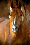 Horse portrait on a farm in summer. Time Royalty Free Stock Images