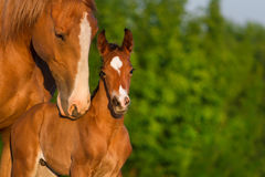 Horse portrait with foal Stock Photography