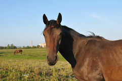 Horse portrait in green field Royalty Free Stock Images