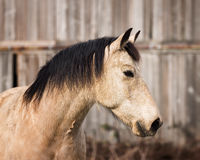 Horse Portrait at His Barn Royalty Free Stock Photo