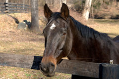 Horse Portrait II. A saddle horse photographed in a northern Virginia pasture royalty free stock image