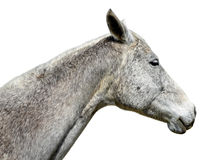 Horse portrait isolated Royalty Free Stock Photos
