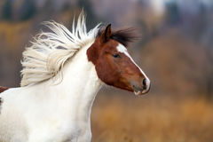 Horse portrait in motion. Bay pinto horse portrait with long mane in motion Stock Photography