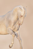 Horse portrait in motion. Cream akhalteke horse portrait in motion Stock Photos