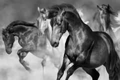 Horse portrait in motion. Horse portrait in herd in motion in desert dust. Black and white Royalty Free Stock Images