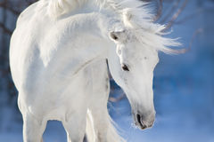 Horse portrait in motion. White horse with long mane portrait in motion in winter day Stock Photos