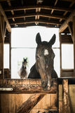 Horse portrait in open stabling Royalty Free Stock Photography