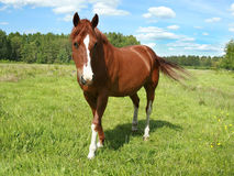 Horse portrait on a pasture Stock Images