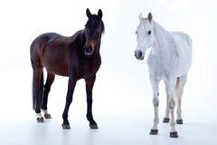 Horse portrait in photo studio Royalty Free Stock Photos
