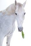 Horse portrait in photo studio Stock Photography