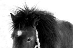 Horse. Portrait of a pony in blackboard white Stock Photo