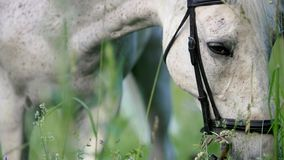 Horse portrait. Sad eyes of a grazing white horse. Close up royalty free stock images