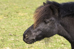 Horse portrait of Shetland pony in a grass paddock Royalty Free Stock Images