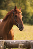 Horse portrait in summer. Mixed breed horse portrait at sunset in summer Stock Photography