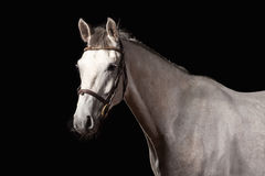 Horse. Portrait of Trakehner gray color on dark background. Portrait of Trakehner gray color on dark background Stock Photo