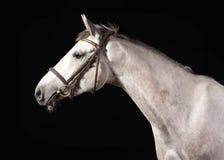 Horse. Portrait of Trakehner gray color on dark background. Portrait of Trakehner gray color on dark background Stock Image