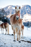 Horse portrait on the white snow while looking at you Royalty Free Stock Image
