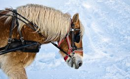 Horse portrait in winter Royalty Free Stock Photography