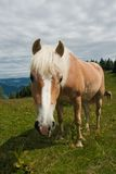 Horse portrait on Zwolferhorn Royalty Free Stock Image