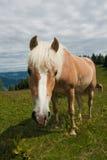 Horse portrait on Zwolferhorn Royalty Free Stock Image