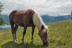 Horse portrait on Zwolferhorn Royalty Free Stock Images