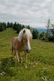 Horse portrait on Zwolferhorn Stock Photography