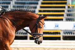 Horse in competition at a tournament in portrait Stock Images