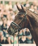 Horse in competition at a tournament in portrait Royalty Free Stock Photography