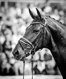 Horse in competition at a tournament in portrait in black and white Stock Photography