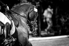 Horse in competition at a tournament in portrait in black and white Royalty Free Stock Photos