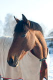 Horse portrate bay color in winter Stock Images