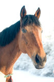 Horse portrate bay color in winter Stock Photography