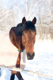 Horse portrate bay color in winter Stock Photos