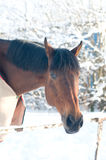 Horse portrate bay color in winter Royalty Free Stock Images
