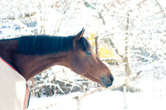 Horse portrate bay color in winter Royalty Free Stock Photos