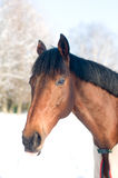 Horse portrate bay color in winter Royalty Free Stock Photo