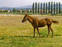 Horse pose 2. Horse in the meadow. Feeding. Wide shot royalty free stock photography