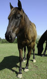 Horse pose. A horse curious about the camera, poses royalty free stock images