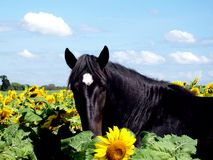Horse posing with sunflowers stock image