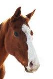 Horse Potrait Royalty Free Stock Photography