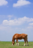 Horse and prairie. Horse grazing on prairie grass Stock Photos