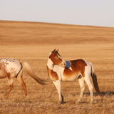 Horse on the prairie Stock Images