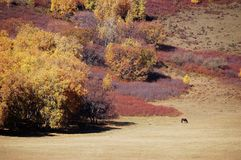 A horse in autumn prairie. A horse in prairie in autumn royalty free stock images