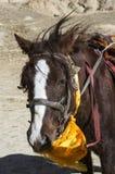 Horse prayer. Upper Mustang horse eating a prayer flag. Humor. Vertical view Stock Photos