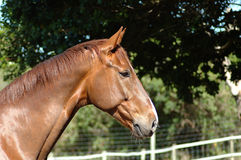 Horse profile Stock Photography