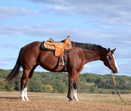 Horse profile Royalty Free Stock Images